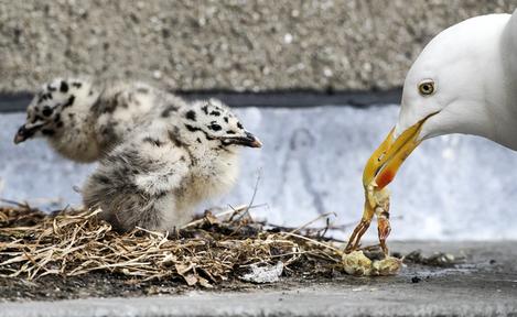baby seagulls 03