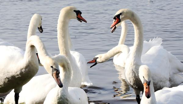 4066 Swans Dublin