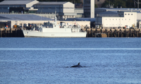bottlenose-whales-in-the-clyde