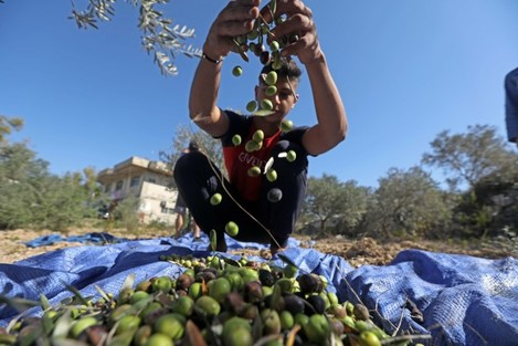 lebanon-olive-oil-processing