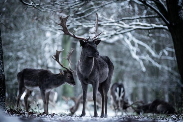 Snowy-Deer-Phoenix-Park-3