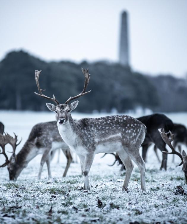 Snowy-Deer-Phoenix-Park-4