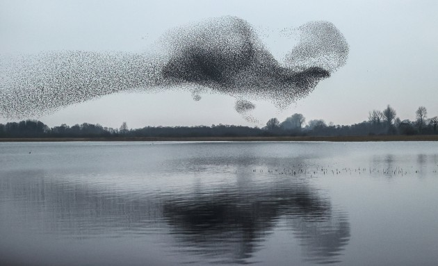 a-view-of-a-starling-murmuration-over-lough-ennell-co-westmeath