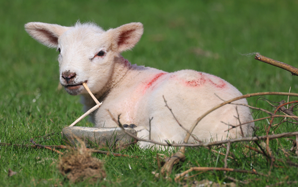 EASTER LAMBS 1L2A5893