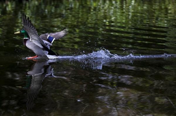 Mallard duck 068