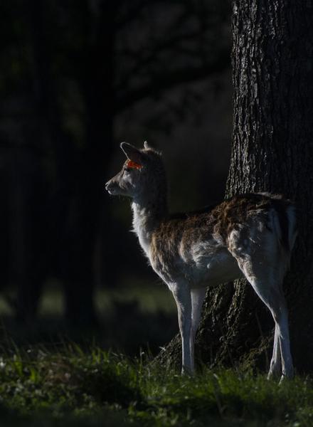 deer 138