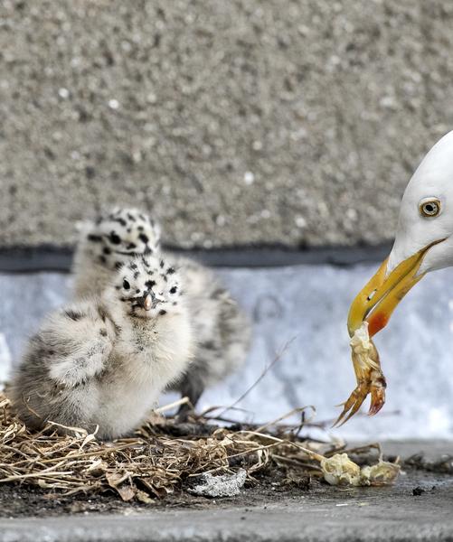 Baby Seagulls 01
