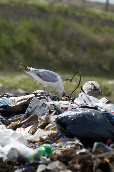 ballealy-rubbish-waste-dump-site-scenes-environmental-crisis-concerns-in-ireland-landfill-sites-green-issues-birds