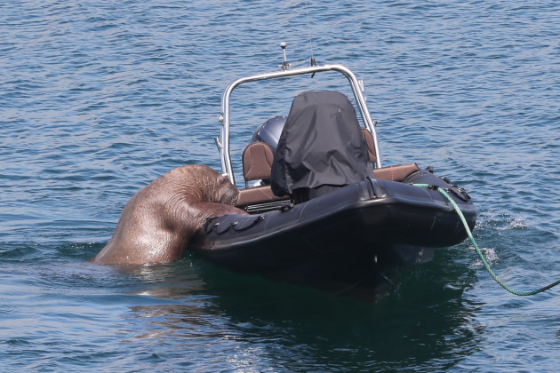 wally-the-walrus