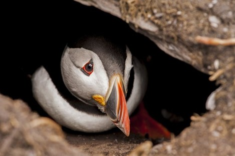 A Puffin on Skelligs SPA that still does not have site specific conservation objectives or a management plan