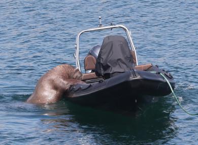 wally-the-walrus-2-390x285