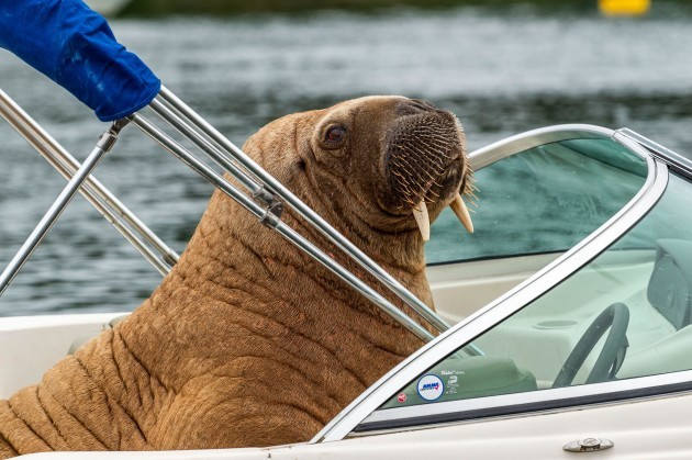 crookhaven-west-cork-ireland-18th-aug-2021-the-arctic-walrus-which-people-have-named-wally-has-been-spotted-again-in-west-cork-this-time-in-crookhaven-the-walrus-is-drawing-a-big-crowd-of-onl